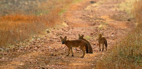 Indian Dhole by Bret Charman